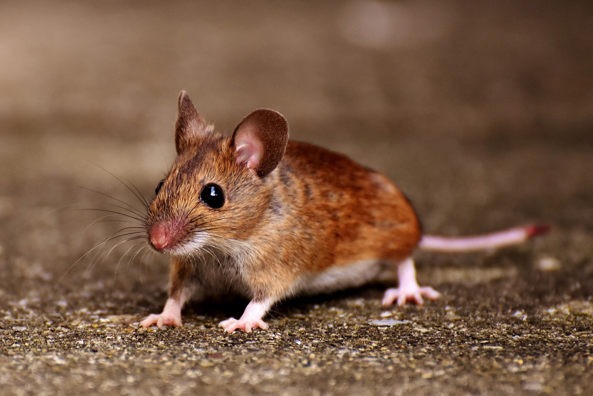 mouse - contact aantex pest control