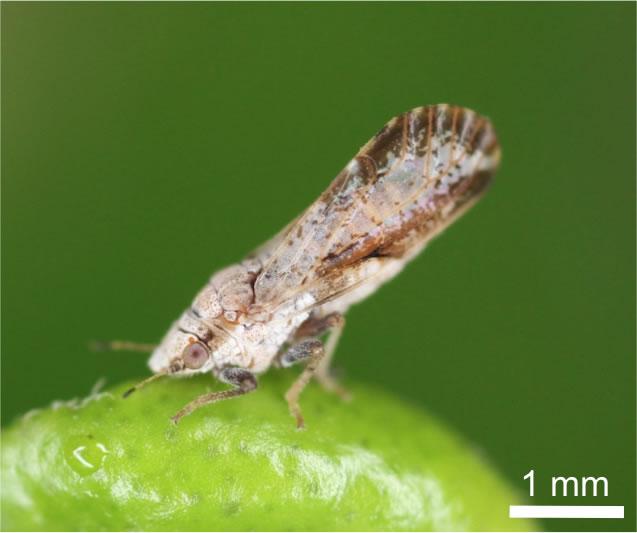 Asian citrus psyllid bug