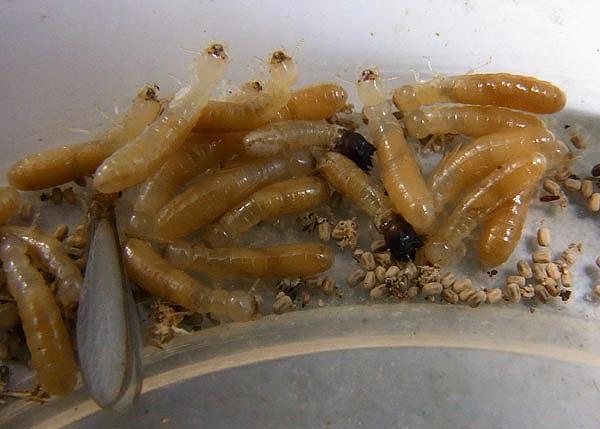 drywood-termites