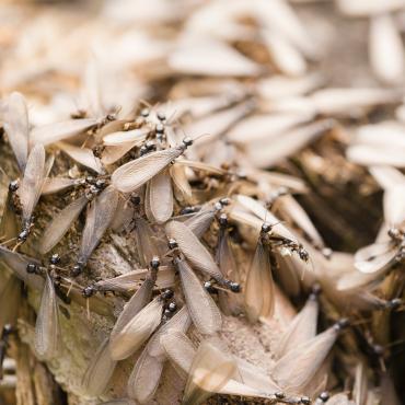 swarming of termites