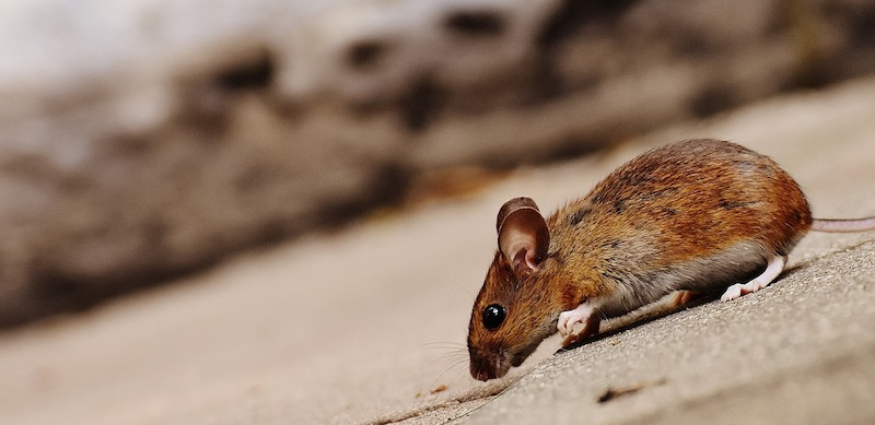 Prevent Rodents - Mice