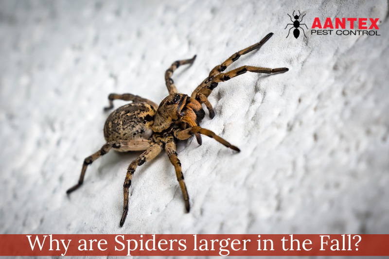 Spiders during the Fall - Pest Control