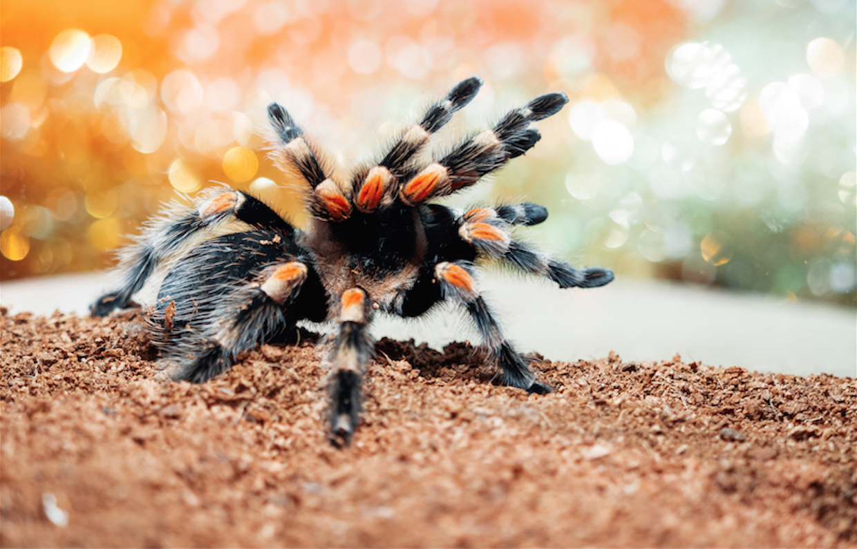 tarantula - pest control
