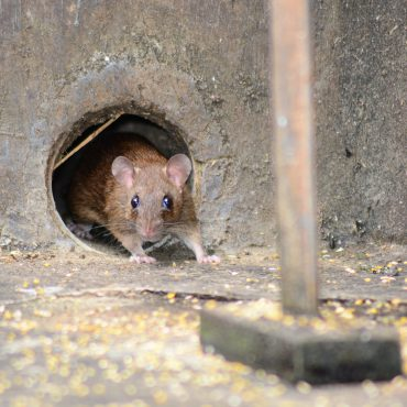 Hiding Rodent