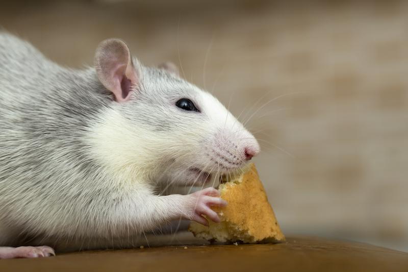 Rat- winter pest
