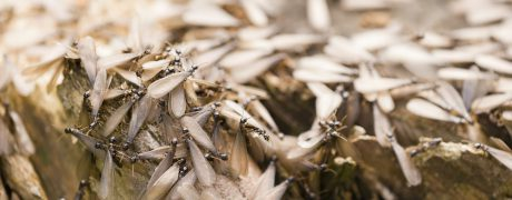 Winged - Termite