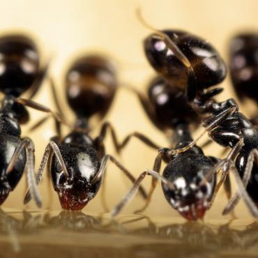 Ants - Aantex Pest Control
